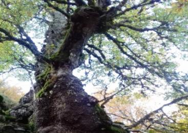 Una tra le querce più vecchie al mondo si trova in Aspromonte