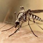 Le zanzare non trasmettono il virus Sars-CoV-2
